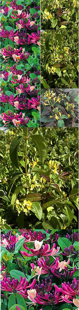 CHERRY+AND+CARAMEL+TONES+%2D+Darts+World+%26+Copper+Beauty+%2D+Evergreen+Foliage+for+unresistable+colour+in+your+Garden%2D+2+Plant+Evergreen+Collection%2D+These+fully+hardy+Climbers+have+been+container+grown+so+can+be+planted+any+time+of+the+year%2E