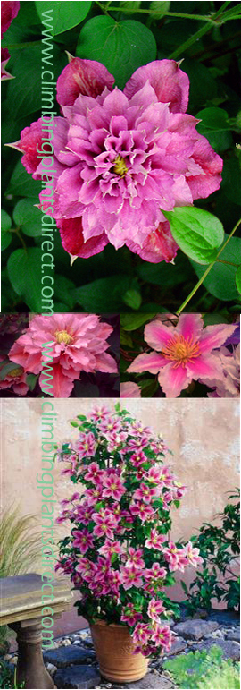 2+x+Clematis+%27PIILU%27+%28also+known+as+Little+Duckling%29+%2D+What+a+gem+this+is+for+Patio+Containers%2E+This+Hardy+Perennial+Climber+has+been+container+grown+so+can+be+planted+at+any+time+of+the+year%2E++We+despatch+WITH+container+so+the+roots+are+safe%2E