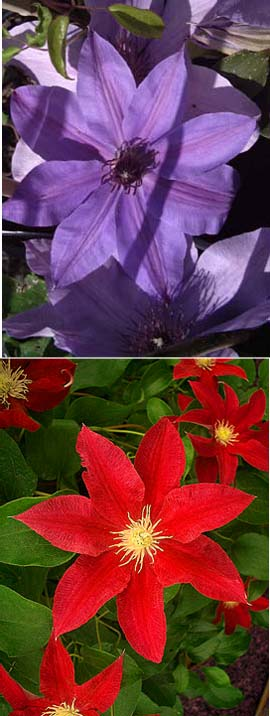 Climbing+Plants++X+2+Offer%2D+Blue+Eyes+%26+Red+Pearl+%2D+Clematis+for+Patio+Planting+with+Very+long+flowering+period%2E