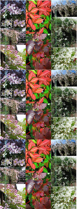 Fast+growing+Perennial+Climbing+Mile+%2Da%2Dminute+three+plant+offer+%2D+Clematis%27Elizabeth%27+with+vanilla+scented+flowers+%2D++Russian+Vine+with+its+beautiful+pink%2Dtinged+white+flowers%2C+and+Virginia+Creeper+with+lush+%26+Vibrant+foliage%2E