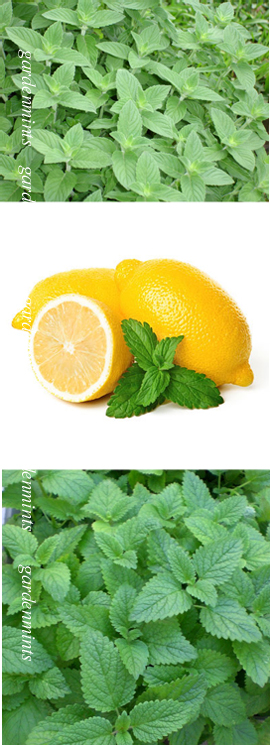 Lemon+Mint%3A+Mentha+x+piperata+f%2E+citrata%2E+Hardy+Perennial%2E+%283xGarden+Ready+Plants+Supplied%29