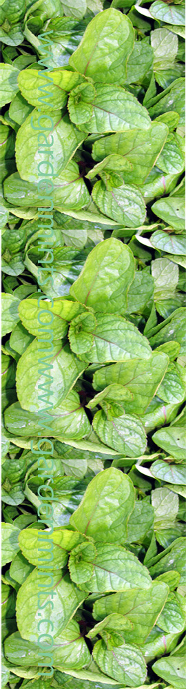 Orange+Mint%3A+Mentha+x+aquatica+%28Citrata%29%2E+Hardy+Perennial%2E+%283xGarden+Ready+Plants+Supplied%29