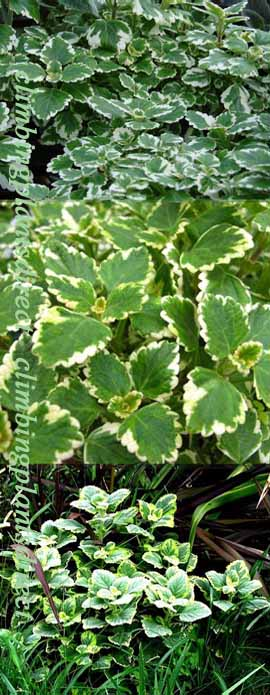 5+X+Trailing+Plectranthus+Plug+Plants+%2A+AVAILABLE+FROM+LATE+MAY%2A