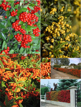 3+Evergreen+Pyracanthus+In+3+Colours+%2D+Red%2C+Orange+and+Yellow+all+from+the+NEW+SAPHYR+Range+of+Stock%2E