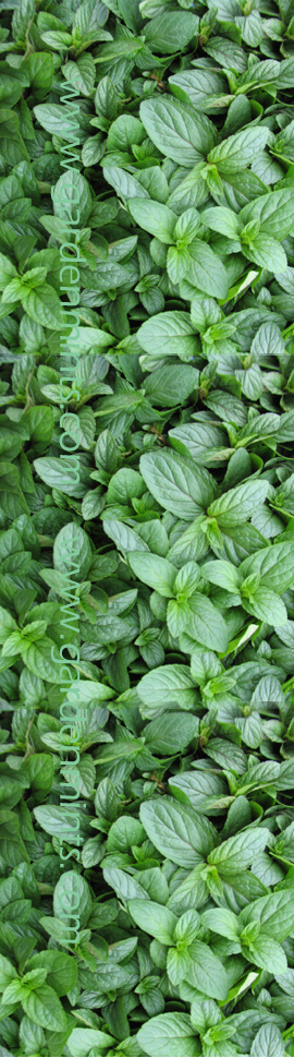 Peppermint%3A+Mentha+x+piperita+Hardy+Perennial%2E+%283xGarden+Ready+Plants+Supplied%29