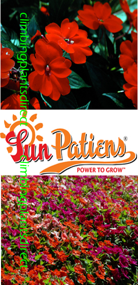 SunPatiens%AE+Vigorous+Red+X+6+Jumbo+Plug+Plants%2E+DELIVERY+%2D+MAY+ONWARDS