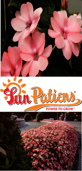SunPatiens%AE+Compact+Blush+Pink+X+5+Jumbo+Plug+Plants%2E+DELIVERY+%2D+MAY+ONWARDS