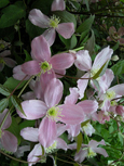 Climbing Plant - Clematis - Mile-A-Minute - ' Fragrant Spring' * NEW- SCENTED - SHADES OF PINK * - This Hardy Perennial Climber  has been container grown so can be planted at any time of the year.  We despatch WITH container so the roots are safe.