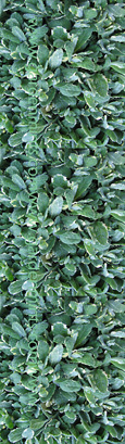 Apple Variegated:  Mentha Suaveolens Variegata. Hardy Perennial. (3xGarden Ready Plants Supplied)