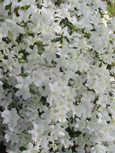 Azalea 'Mollis White'- A NEW Hardy Perennial Flowering Shrub. This hardy shrub has been container grown so can be planted at any time and will reward you all year round. We despatch WITH container so the roots are safe.