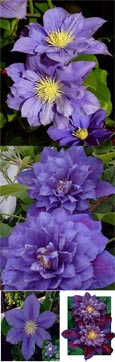 2 x Clematis 'Beauty of Worcester' in 9cm Pots. Container grown Garden Ready Climbing Plants, so your climbing plants can be planted at any time of the year. We use 'Exemptor' to ensure your root system is strong and healthy and will establish well.
