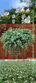 5 X Trailing Bacopa Snowflake Plug Plants *READY NOW*