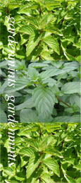 Basil Mint:  Mentha x piperata f citrata. Hardy Perennial. (3xGarden Ready Plants Supplied)