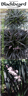 2 x Black Grass 'Ophiopogon Black Beard' - VERY HARDY evergreen perennial.
