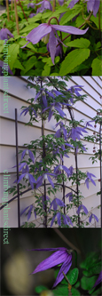 Clematis alpina 'Blue Dancer' - BRILLIANT DISPLAYS OF DEEP BLUE LANTERNS! This Hardy Perennial Climber has been container grown so can be planted at any time of the year. We despatch WITH container so the roots are safe.