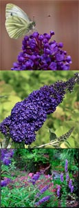 2 x Buddleja 'Adonis Blue' - NEW ENGLISH BUTTERFLY SERIES Dwarf Buddleja with Long Fragrant Flower Spikes