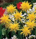 Narcissus 'Rip Van Winkle' - Dwarf Double Daffodil. A show-stopper! *Commercial size bulbs NOT small pre-packs*
