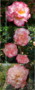 Camellia 'Margaret Davis' - A compact evergreen shrub with charming ruffled double flowers edged in raspberry.