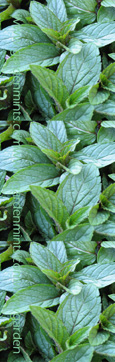 Chocolate Mint:  Mentha x piperata f citrata.  Hardy Perennial. (10x Plug Plants Supplied)