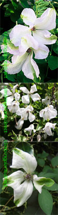 Clematis viticella 'Alba Luxurians' - One of the longest flowering, easy to grow clematis, introduced.  This Hardy Perennial Climber has been container grown so can be planted at any time of the year.We despatch WITH container so the roots are safe.
