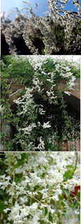 4x Russian Vine - Mile-A-Minute Vine. (Fallopia baldschaunica also known as Polygonum baldschuanicu). This Hardy Perennial Climber has been container grown so can be planted at any time of the year. We despatch WITH container so roots are protected.