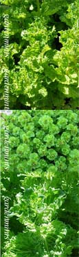Curly Mint:  Mentha spicata Crispa. Hardy Perennial. (3xGarden Ready Plants Supplied)