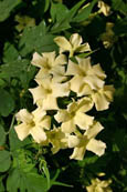 2x Jasmine 'Clotted Cream' - HARDY PERENNIAL CLIMBER- HEAVENLY SCENTED CREAMY FLOWERS. This Hardy Perennial Climber has been container grown so can be planted at any time of the year.