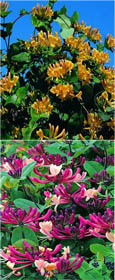 Climbing Plants x 2 Offer - Evergreen Foliage & Scented Flowering Honeysuckle- Darts World & Halliana. MASSES OF HIGHLY HEAVENLY SCENTED FLOWERS WITH RICH DARK GREEN LEAVES!