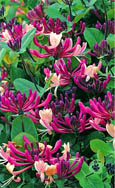 NEW INTRODUCTION Lonicera japonica 'Darts World'  EVERGREEN SCENTED FLOWERS. HARDY. ONE OF THE BEST ALL- ROUND CLIMBING PLANTS INTRODUCED!
