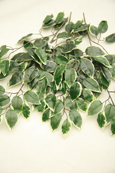 3 x Artificial Variegated Trailing Foliage Vine Plant (Dark green Leaf with Light Cream Variegation) 55CM Length and with 42 Leaves of Assorted Sizes