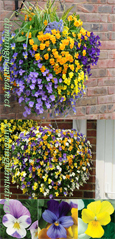 5 X Trailing Pansy (Viola Hybrid) Friolina Mixed *READY NOW*