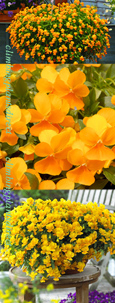 5 X Trailing Pansy (Viola Hybrid) Friolina Orange *READY NOW*