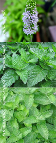 Grapefruit Mint:  Mentha x piperata f. citrata. Hardy Perennial. (3xGarden Ready Plants Supplied)