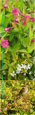 THE SCENTED JASMINE GARDEN COLLECTION (D) - Our NEW stunning 3 plant collection. These plants have been container grown so can be planted at any time of the year. We despatch WITH container so the roots are safe