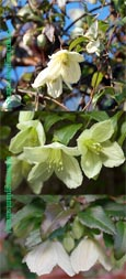 Clematis. cirrhosa 'Jingle Bells' - RHS AGM.   EVERGREEN FOLIAGE AND CITRUS LEMON SCENTED FLOWERS FOR CHRISTMAS - DING DONG!
