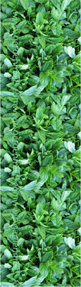 New Potato Mint:  Mentha Spicata. Hardy Perennial. (3xGarden Ready Plants Supplied)