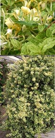 Evergreen Climbing Plant - Honeysuckle Lonicera 'Mint Crisp' with wonderful evergreen  cream and green speckled variegated foliage and fragrant flowers. Hardy Perennial Climbing honeysuckle which has been container grown so can be planted at any time year