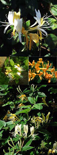 Honeysuckle - Lonicera japonica 'Halliana' - EVERGREEN FOLIAGE & VERY LONG FLOWERING PERIOD - SCENTED FLOWERS. This Hardy Perennial Climber has been container grown & can be planted at any time of the year.