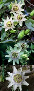 Passiflora 'White Lightning' - HARDY White passion flower- EXOTIC FLOWERS & ORANGE FRUITS. This Hardy Perennial Climber has been container grown so can be planted at any time of the year. We despatch WITH container.