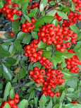 Pyracantha 'Mohave Red' - Evergreen Wall Shrub. Spring flowers and Autumn / Winter red berries