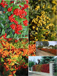 3 Evergreen Pyracanthus In 3 Colours - Red, Orange and Yellow all from the NEW SAPHYR Range of Stock.
