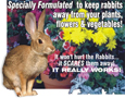 RABBITS OFF PLANTS - SCAREDY BUNNIES PLANTS -  Coleus canina hybrid X 3 Starter Plants. Plants despatched from MAY onwards as they need frost protection and prefer good light levels to grow quick.
