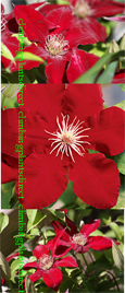 Clematis Rebecca ™ Evipo016. This Hardy Perennial Climber has been container grown so can be planted at any time of the year. We despatch WITH container so the roots are safe.