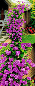 AVAILABLE NOW - Climbing Rose Purple Climber - A beautiful fragrant rose