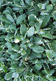 Apple Mint:   Mentha Suaveolens (Variegata) Hardy Perennial. (3xGarden Ready Plants Supplied)
