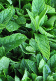 Garden Mint Collection -E- (Potato Mint x 3)