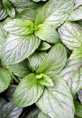 Peppermint:  Mentha x piperita Hardy Perennial. (3xGarden Ready Plants Supplied)