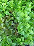 Garden Mint Collection - F - (Potato Mint, Chocolate Mint & Orange Mint)
