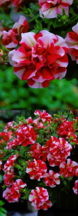 Surfinia & Trailing Petunias Tumbelina Rosy Ripple - DELIVERY - MAY ONWARDS