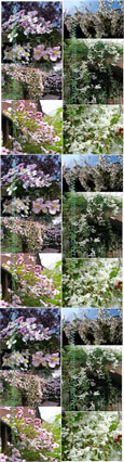 Fast growing Perennial Climbing Mile -a-minute pair offer - Clematis'Elizabeth' with vanilla scented flowers & Russian Vine with its beautiful pink-tinged white flowers.